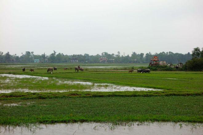 Vattenbufflar i våta odlingar. En väldigt vanlig syn längs vägarna.