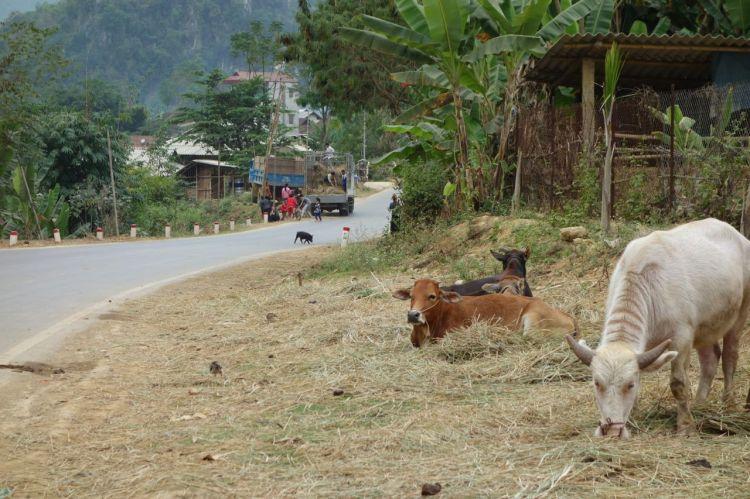 Ett exempel på skeende längs vägen i Vietnam. Några kossor, ett par kycklingar, en vilsen griskulting pilar över vägen och en samling människor lastar hö på ett flak.