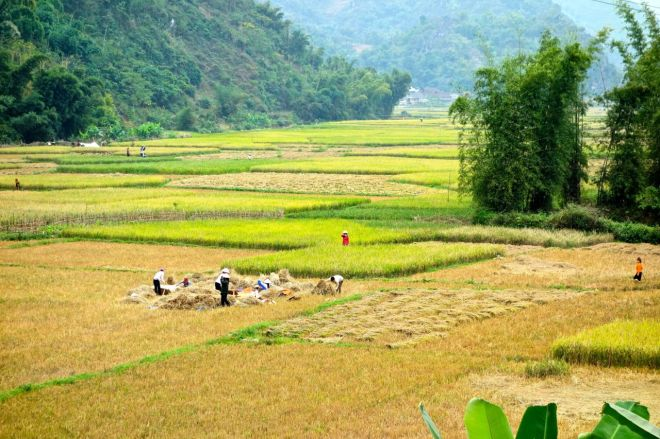 Gulnade risfält, redo för skörd.