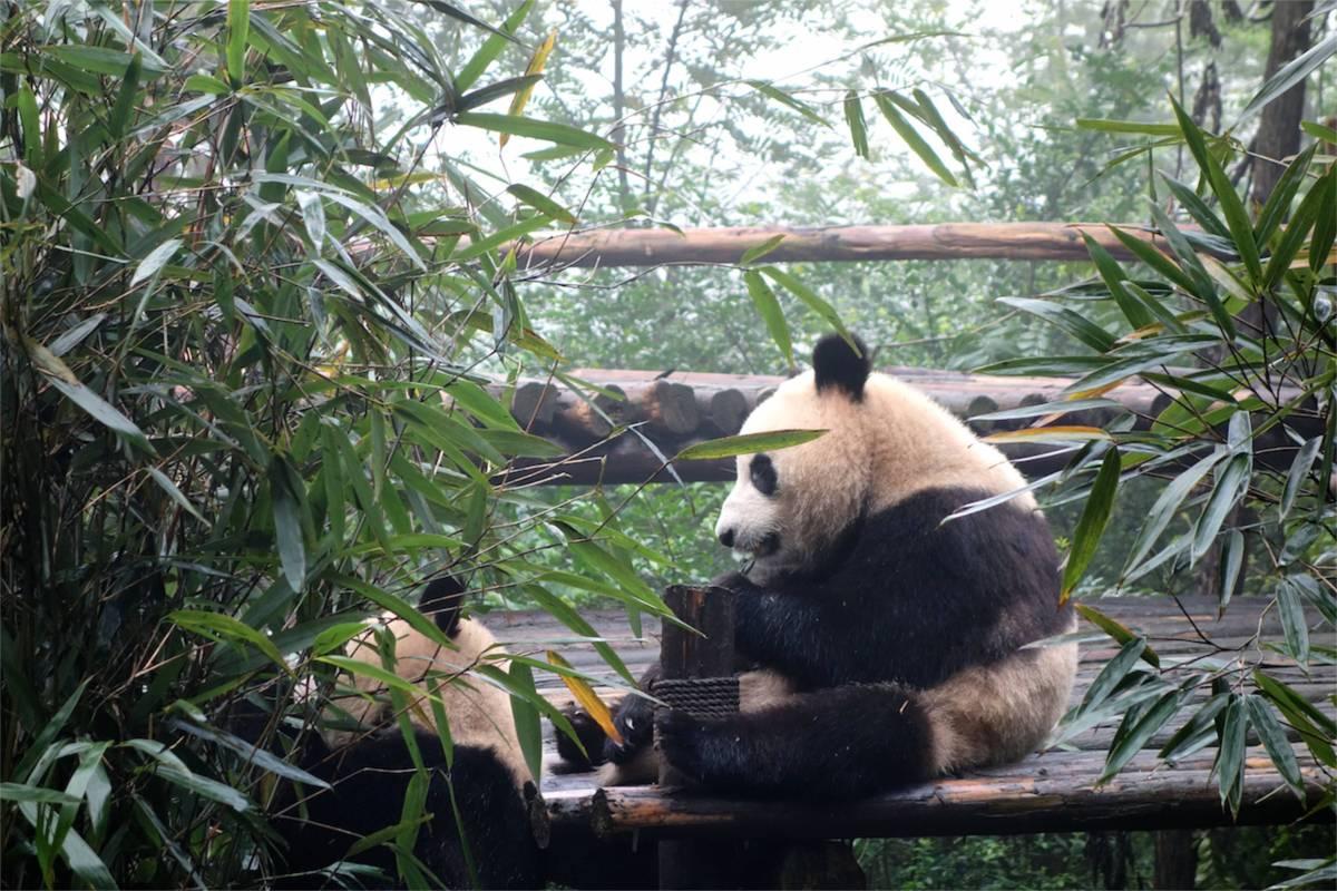 24 timmar i pandornas hemstad Chengdu