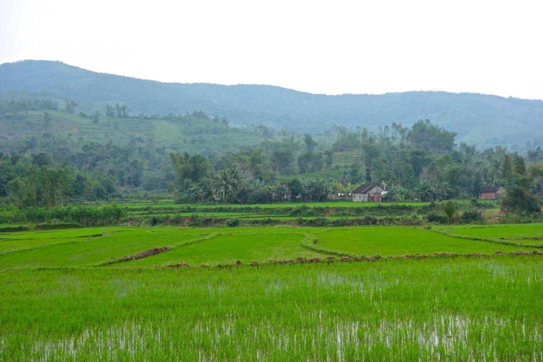En disig dag lyser de nygröna risfälten