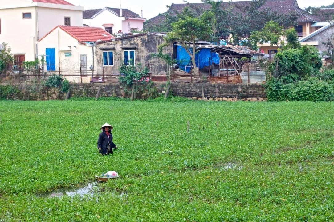 Ett centralt odlingsfält. Vattenspenaten är ingrediens i mycket, och har huvudrollen i den populära Morning Gloryn (vitlök.. mm).