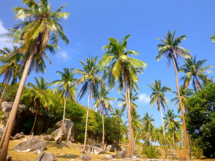 Längs vägarna på Koh Tao. Palmer, palmer, palmer.