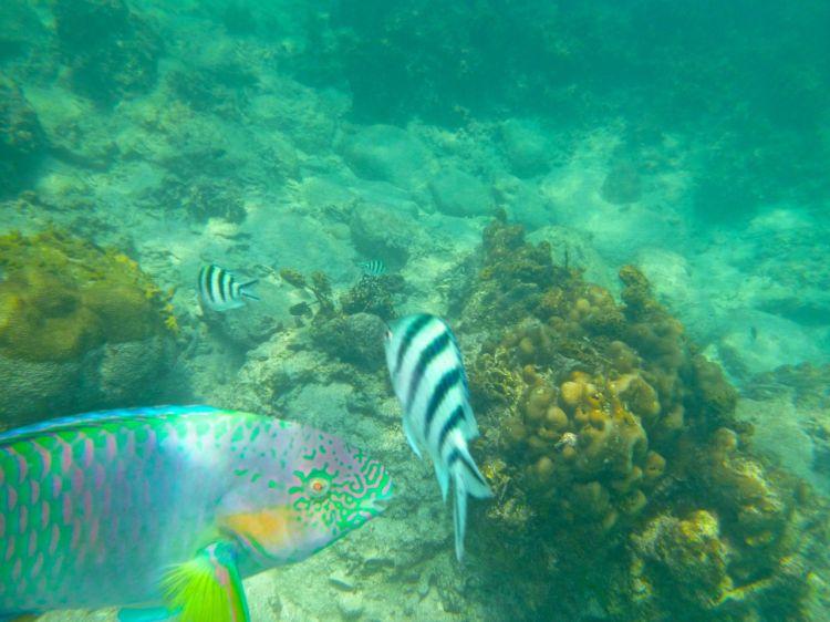 En annan färgglad favorit simmade in i bild! Gulliga papegojfiskar!