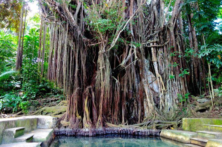 Gammalt träd betyder ett virrvarr av rötter och klängväxter. Det har stått här en stund ...