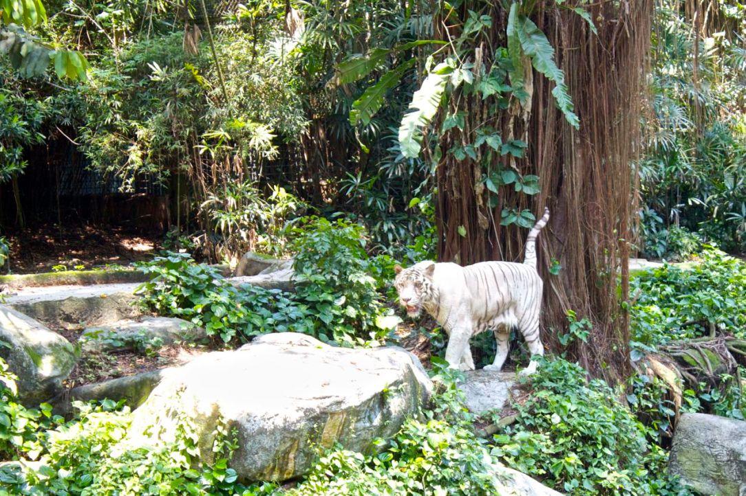 De två vita tigrarna simmade och promenerade, runt - runt - runt - runt. De såg lite understimulerade ut, men extremt starka.