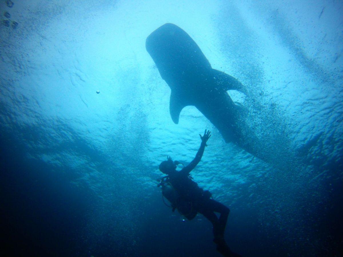 Att dyka med valhaj är varje dykares våta dröm
