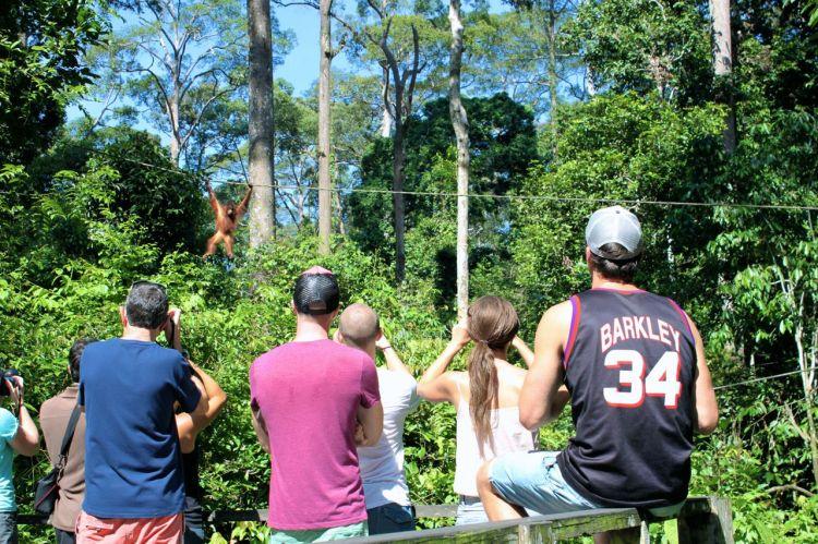 Det sitter linor uppspända från träden för att orangutangerna lättare ska komma åt plattformarna. När det börjar vibrera i dem vet en direkt att det är dags. Här kommer den första ut och tar en lika stor titt på oss som vi på den.