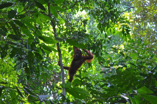 Den här lille rackarn vågar sig inte ut i djungeln ännu utan stannar kvar i krokarna omkring sina välkända kvarter. Förhoppningsvis svingar hen sig vidare ut snart.