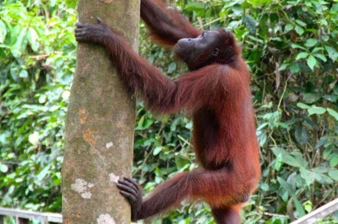 När han kollat klart kliver han rakt upp i ett träd. Lätt som en plätt.
