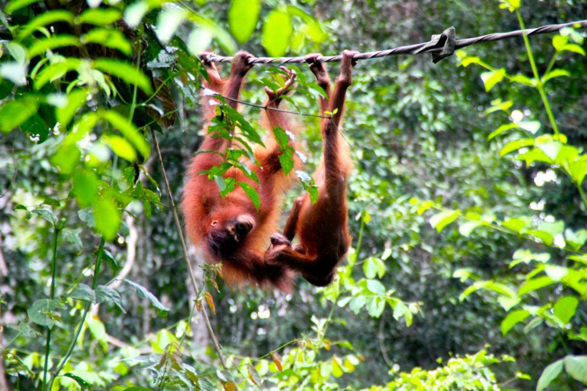 Träffa Borneos orangutanger i Sepilok