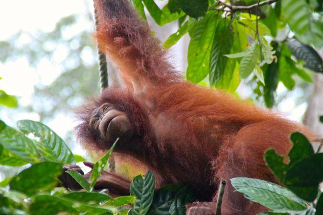 Orang-utan betyder skogsmänniska på malajiska. Och det går verkligen att känna släktskapet. Vi har ca 96-97 % samma DNA (vilket är mindre släktskap än med schimpanserna, men ändå).