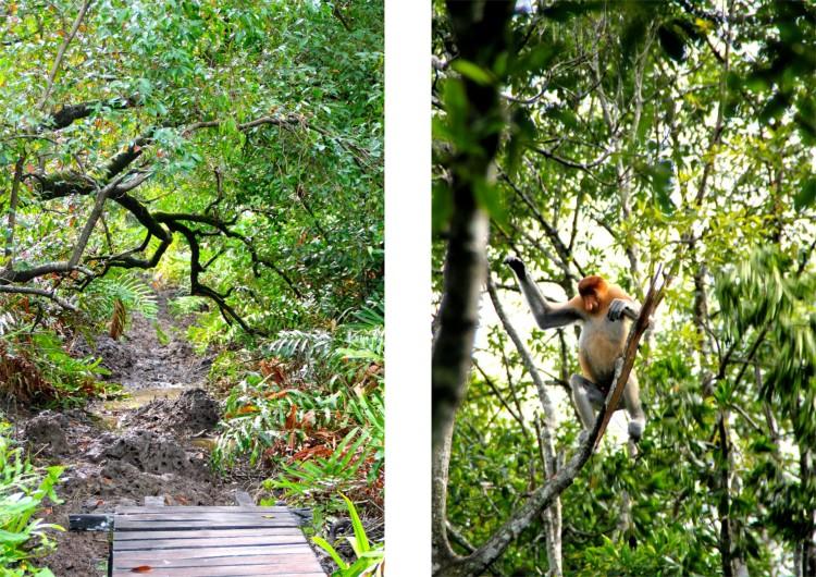 Näsaporna lever i mangroveskog och tropisk regnskog i närheten av vatten. De är inte bara fenor i trädtopparna, de kan simma sjukt bra också (sägs det, vi såg inte det).