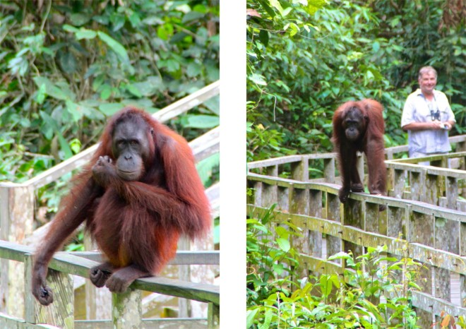 Den största orangutanghanen kommer med ett duns, rätt ner på räcket. Han är inte rädd. Han vet att vi är på besök i hans hoods. Vi får vackert backa medan han tar sin tid och kikar omkring.