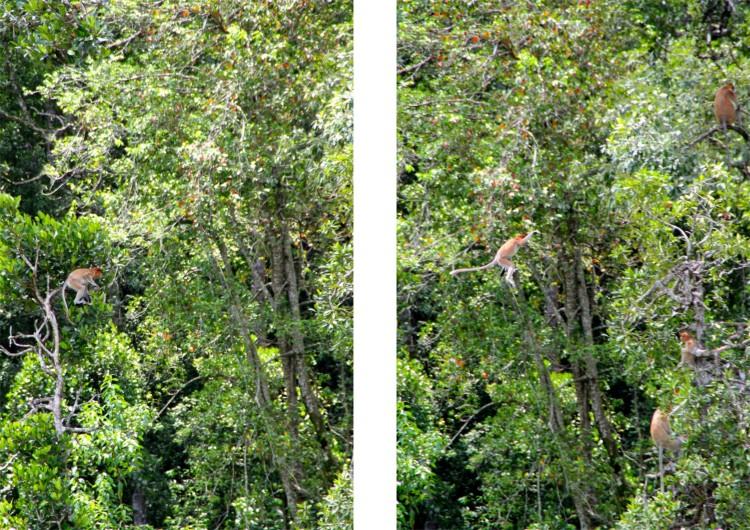 När näsaporna återvända till djungeln igen efter matpausen var även de med minst nosar med på notera. Den här pärlan gungade igång det lilla trädet för att få katapulteffekt och komma över till den större stammen. Succé!