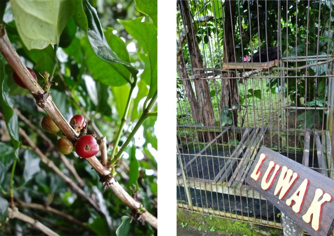 Kaffebönor på gren. Några av frukterna ser faktiskt godare ut än andra.