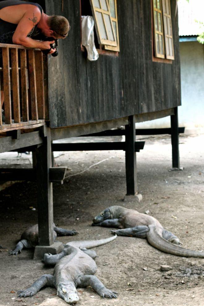 Några av de lataste ödlorna härbärgerar direkt vid stugorna som skogvaktarna bor i. De menade att de aldrig får mat, men att de kommer ändå för att det luktar. De skulle heller aldrig ha ätit någon människa...