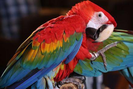 scarlet-macaw-tropical-bird-3924046__480