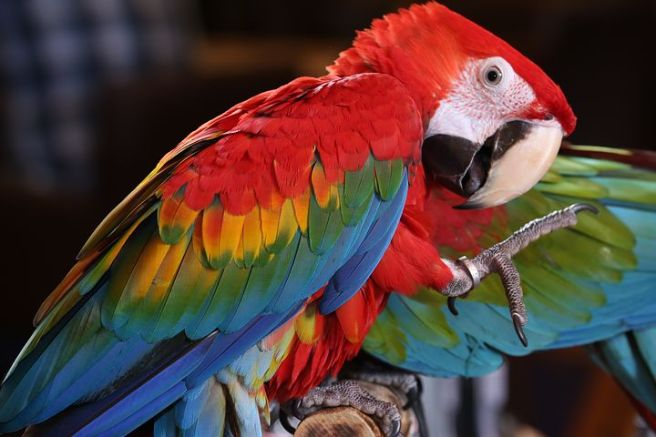 scarlet-macaw-tropical-bird-3924046__480